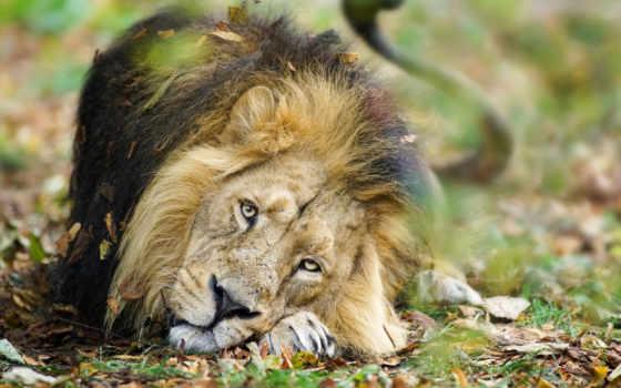 lion, masai, биг, животные, львы,