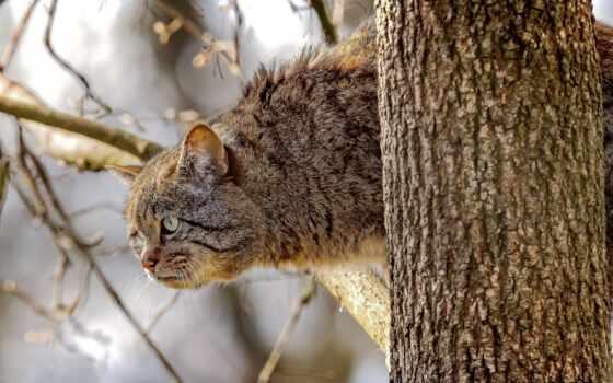 кот, дерево, wildcat, животные, хищник, lion, взгляд, branch, wild
