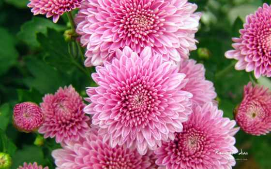 desktop, resolution, widescreen, background, home, download, chrysanthemum,