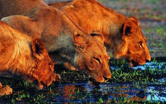 львы, lion, водоема, воду, страница, небольшого,