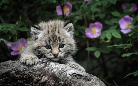 котенок, hunting, кот, серый, когти, каминь, глаза, рысь,