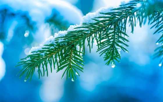 branch, елка, макро, ёль, снег, иголки, дерево, winter, боке, капли, картинка,