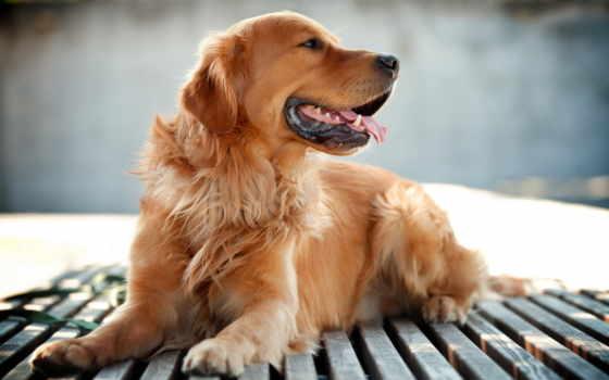 retriever, золотистый, породы, собак, собака,