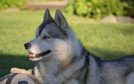 хаски, siberian, собаки