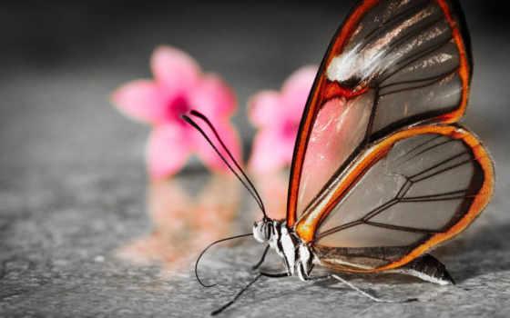 бабочки, бабочка, вида