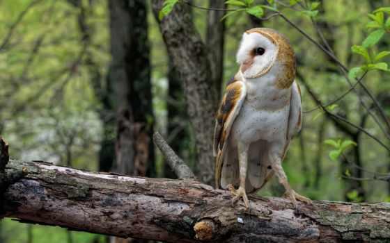 сова, сипуха, птица, log, лес, обыкновенная, branch,