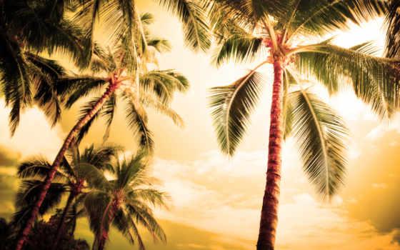 пальмы, природа, palm