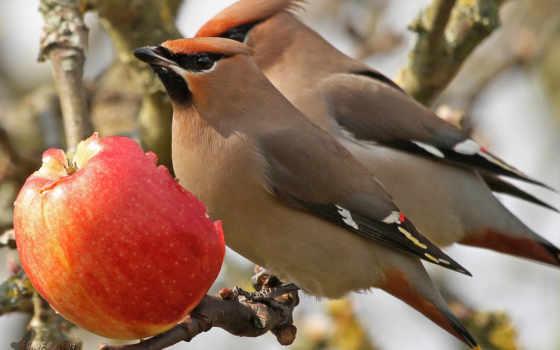 słowiki, jabłko, ptaki, tapety, свиристели, nowe, две, biała, rzeka,