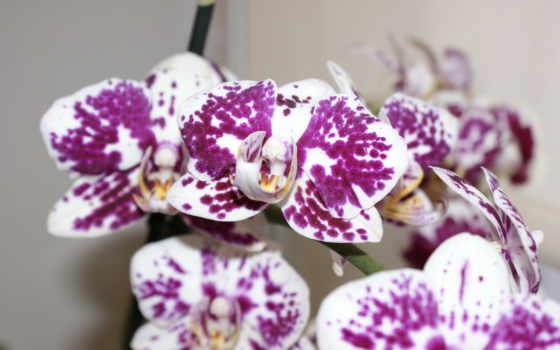 орхидея, орхидеи, cvety, цветы, крапинку,