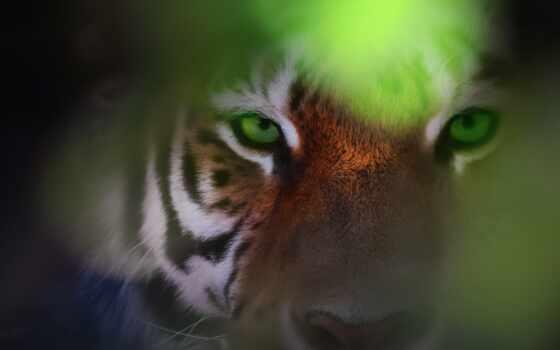 глаз, тигр, animal, copyright, discover, фон, wallpapertip