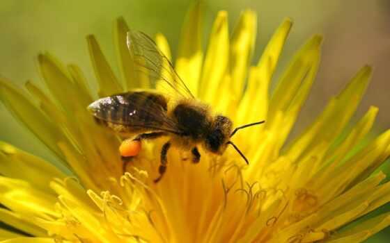 цветы, пчелка, одуванчик, biene, yellow, blume, пыльца, hintergrundbild, опыление