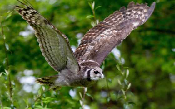 сова, птицы, полет