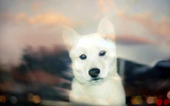 смотрит, окно, белая, собака, сквозь, shiba,