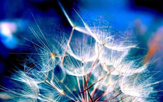 одуванчики, цветы, одуванчик