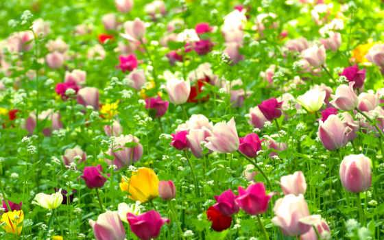 тюльпаны, cvety, поле, природа, весна, высоком,