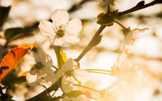 ,, цветок, белый, природа, лепесток, цвет, весна, солнечный свет, цветение вишни, нектар, d