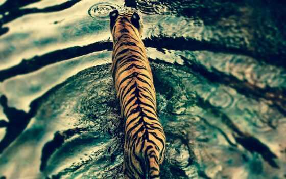 тигр, animal, water, google, другой, лебедь, permission, valentine, день, расширение, chrome