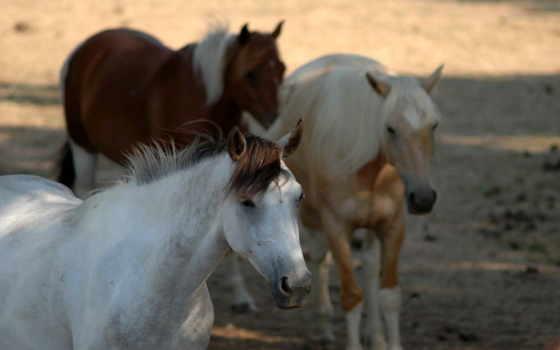 animals, wallpaper, horses, wallpapers, hd,