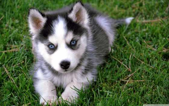 хаски, собака, щенок, собаки, траве, трава, свет, siberian,