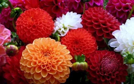 георгины, цветы, нояб