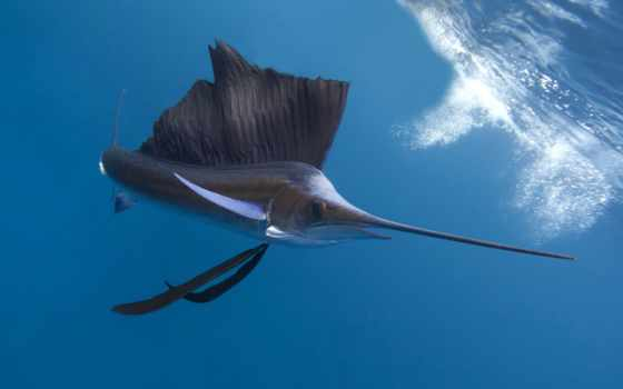 ocean, pacific, sailfish, indian, animals, diving, таиланд, best, world, tourism, fish,