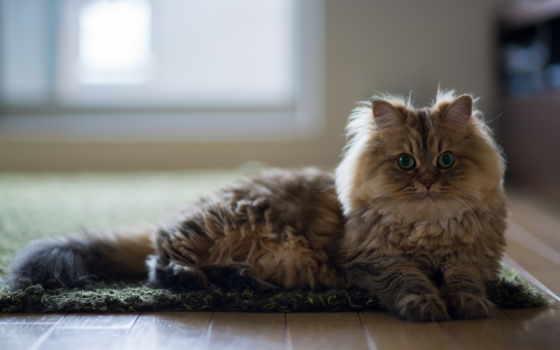 views, кот, pisici, desktop, imagini, июл, total, podea, lemn,