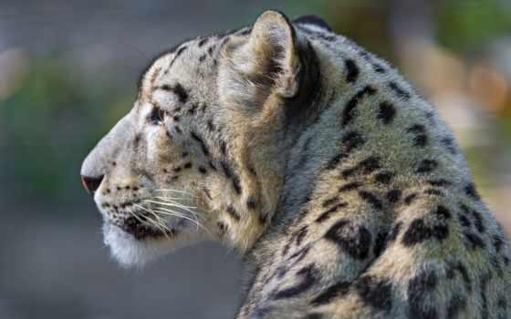 взгляд, profile, снег, леопард, хищник, морда,