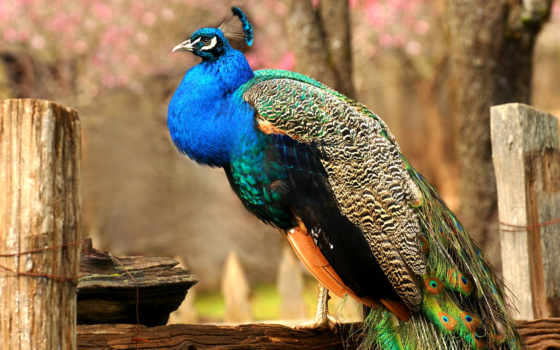 peacock, tail, распускает, индии, местностях, пакистане, sri, ланке, высоте, со, уровнем,