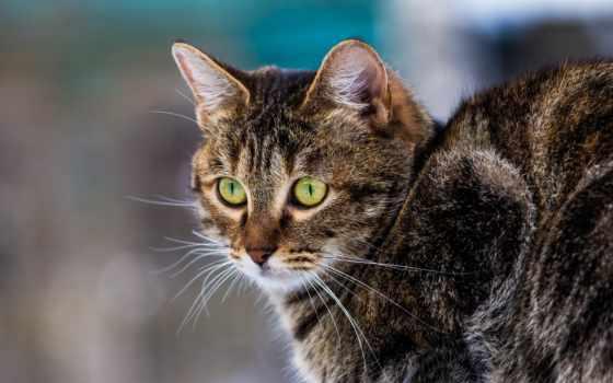 кот, фотографий, короткошёрстная, европейская,