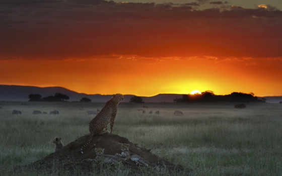 африка, животные, закат, саванна, гепард, обои, са