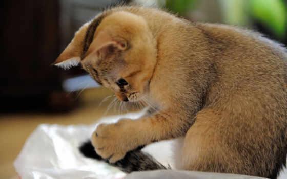 играет, хвостом, котенок, kitten, wallpaper, котёнок, cat, scottish, shorthair, hd, wallpapers, tags, внимание, mau, egipcio, пользователей, крупный, план, animal,