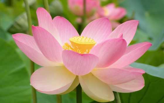 lotus, nucifera, цветы