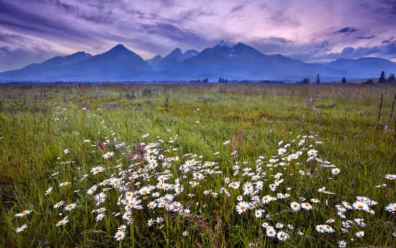 аву, ромашки, cvety, татры, словакия, посмотрет, советуем, трава,