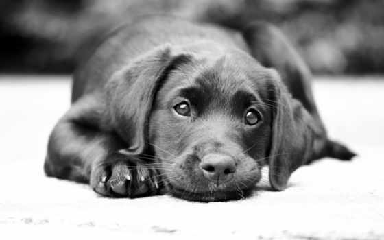 labrador, собака, чб