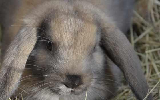 кролик, гном, нояб, tapety, заяц, ложь, ears,