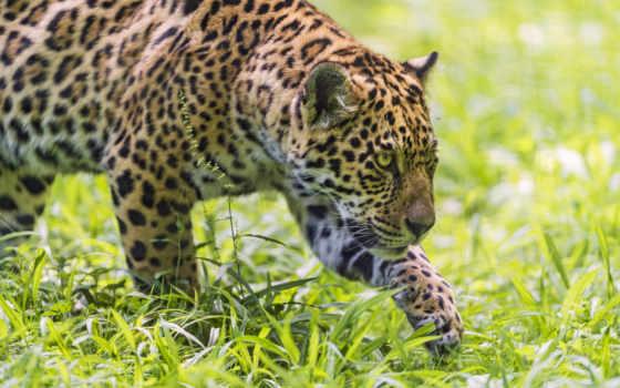 jaguar, кошки, pantalla, молодой, cazando,