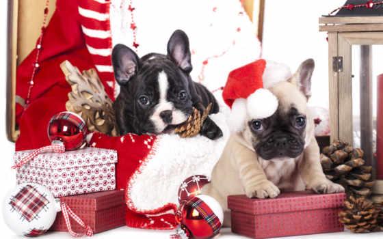 new, год, bulldog, собаки, щенок, праздники, french, щенки, подарки, два, shariki,