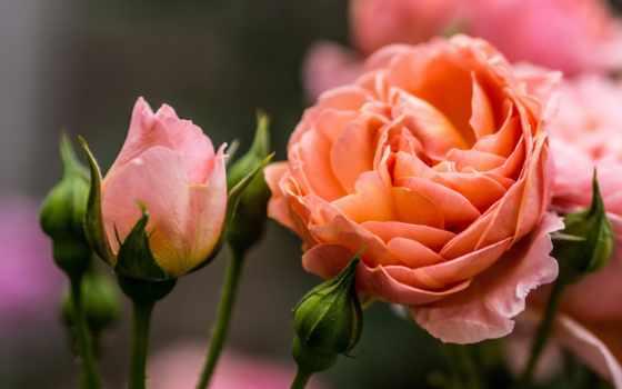 cvety, розы, flowers, бутоны, роза, страница, шишки, garden, blossoms, queen, цветы,