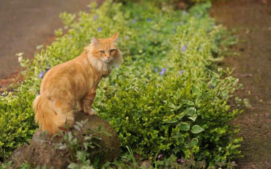 кот, рыжый, котик,