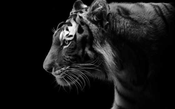 тигр, чёрно, дикая