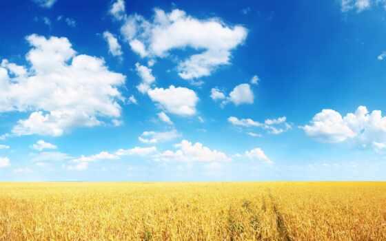 колосья, поле, пшеница