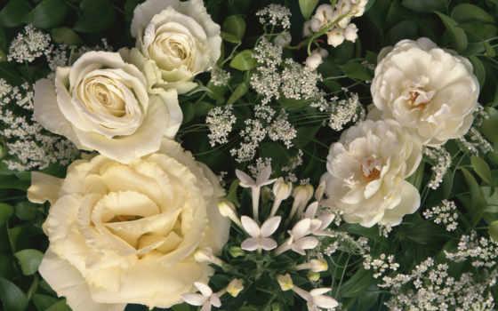 розы, белые, роз