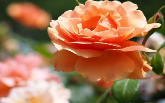 оранжевая роза Фон № 100496 разрешение 1920x1200