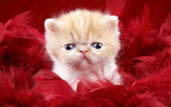 уставший, кот, котенок, кото, тюлень, фото,