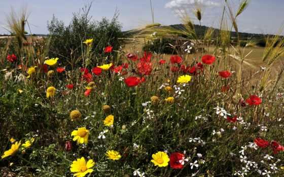 природа, cvety, маки, зелёный, поляна, колосья,