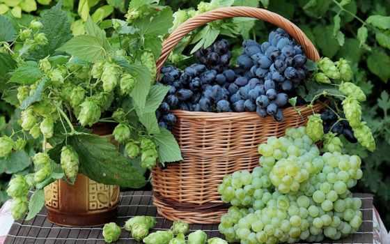 виноград, диета, виноградная, shrine, бренд, против, диеты, online, puzzle, purification, black,