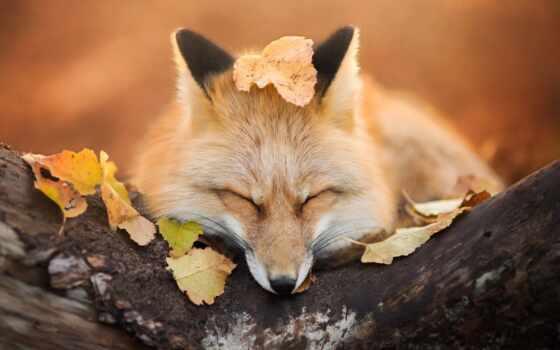 фокс, коллекция, animal, card, спать, лисичка, red