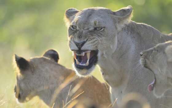 львица, left, ухмылка, animal, злой, lion, кот, хищник, злость, биг, трава