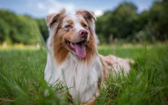 собака, колли, border, порода, трава, глаза, tapety, щенок, котенок