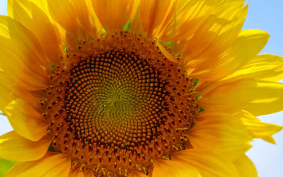 sunflower, flowers